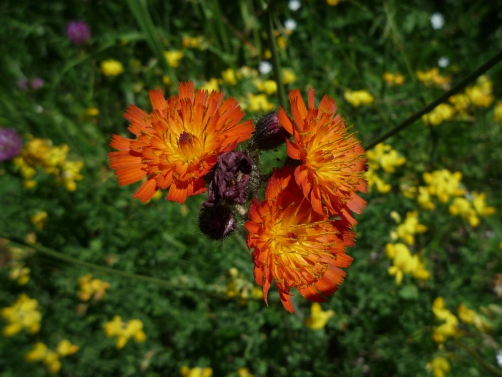 Jestřábník oranžový (Hieracium aurantiacum)