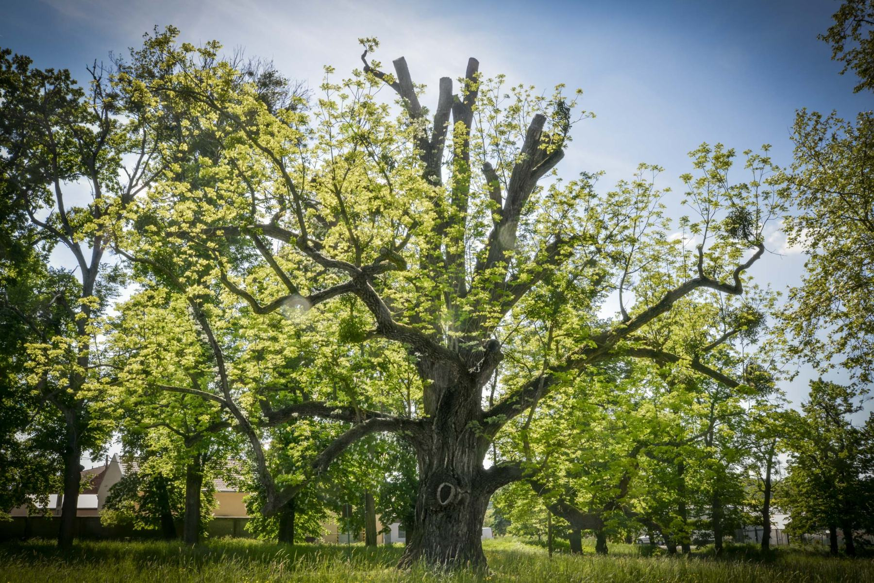 Tree-of-the-Year_Czech republic_ETY2018_credit_Marek Olbrzymek_resize