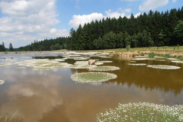 Výstavba malé vodní nádrže u Daňkovic s porostem lakušníku vodního, který se typicky vyskytuje v mělkých, krátkodobě vysychajících vodách.